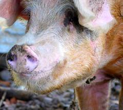 Au Nicaragua. À San Miguelito (A z d r u b a l) Tags: cochon pig sourire tasdebeauxyeuxtusais pasvraimentsexy cerdo schwein поросёнок varken 猪 सूअर groin 2013 rose