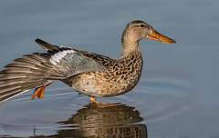 Northern Shoveler (Spatula clypeata) (fugle) Tags: northernshoveler shoveler duck waterfowl nevada anas dabblingduck