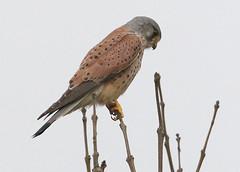 Common Kestrel (falco tinnunculus) (mrm27) Tags: cambridgeshire kestrel falco foxton falcotinnunculus