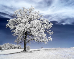 Prominent (Thomas James Caldwell) Tags: infrared ir tree white blue contrast kolari false color nature valley forge stark clouds field striking abstract