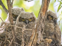 Great Horned Owl (Bubo virginianus) (fugle) Tags: greathornedowl owl owlet nest nestling nesting nevada