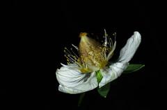 Parnassia palustris (JohannesLundberg) Tags: celastraceae färnebofjärdensnationalpark parnassiapalustris sweden uppland macrophoto protectednature staminoid gavleborgcounty celastrales europe parnassia parnassoideae rosids biology nationalpark åretsväxt scandinavia svealand