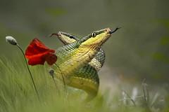 Strisciare nella natura (Zz manipulation) Tags: art ambrosioni natura fiori papaveri rettili strisciare erba zzmanipulation spighe grano