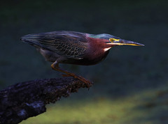 Green Heron (ashockenberry) Tags: