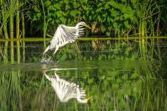 Touchdown (Thomas James Caldwell) Tags: white reflection bird nature water john mirror wildlife great national egret heinz refuge tinicum at
