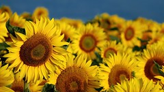 Here comes the sun (Parchman Kid (Jerry)) Tags: here comes sun flowers yellow gg parchmankid sunflower sunflowers parchman kid