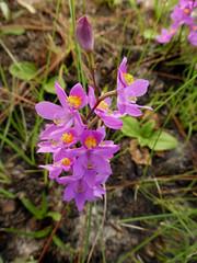 Manyflowered grass pink (eleanord43) Tags: calopogonmultiflorus manyfloweredgrasspink