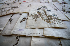 Linnaeus' herbarium in Stockholm (JohannesLundberg) Tags: linnaeus handwriting herbariums paper herbariumspecimen peoples person persons historicalperson