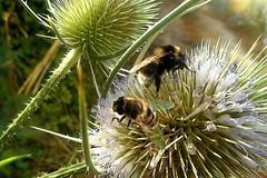 Api (Zz manipulation) Tags: art ambrosioni animali manipulation zzmanipulation sole api fiori estate campagna natura