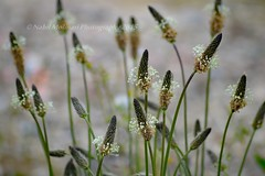 Nature : Plantago lanceolata (Plantin) (Nabil Molinari Photography) Tags: flowers nature insecte
