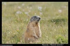 Anglų lietuvių žodynas. Žodis marmota reiškia <li>marmota</li> lietuviškai.