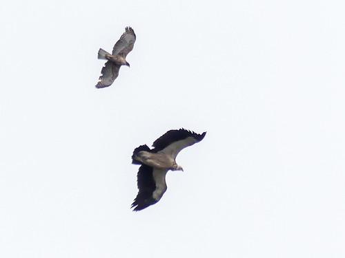 Mountain Hawk-Eagle mobbing Himalayan Vulture