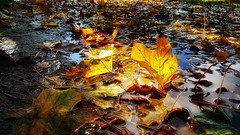 Leaves (Female beauties) Tags: art beautiful beauty colours colors yellow leaves water autumn nature bright foliage gold golden light sunlight transparent transparant blue