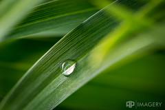 After The Rain (AP Imagery) Tags: drew 100l macro nature green droplet drop canon rain plant grass kentucky usa