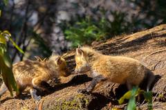 Renardeau (SGirard84) Tags: fox redfox renard renardroux renardeau