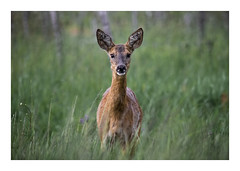 Chevreuil - Gironde (label&poc) Tags: france gironde aquitaine chevreuil observation animale wild animal vigne foret forest soir evening nature roe deer faune sauvage freedom life cerf chevrette bram brame animals portrait affut bambi bambis looking you