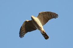Sparrowhawk (accipiter nisus) (mrm27) Tags: sparrowhawk accipiter accipiternisus hazlewoodcommon suffolk