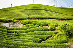 Tea fields in Wazuka, Japan (Christian Kaden) Tags: plant japan tea pflanze pflanzen 日本 kansai tee 植物 teaplantation 関西 茶 茶園 teaplant 茶畑 teepflanze teeplantage wazuka 和束町 茶の木 rotenen offenesteefeld openteafield 露天園 green grün bestofjapan 日本一番 beofjap みどり j2016