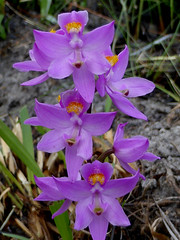 Manyflowered grass pink (eleanord43) Tags: may anf calopogonmultiflorus manyfloweredgrasspink