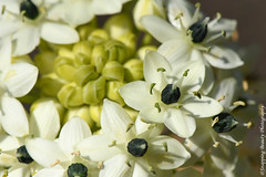 850_1027.jpg (Snapping Beauty) Tags: floral nature summer garden bloom flowers white 2018 years vibrantcolor natural abstract day petal background seasons peace stills virginia beautyinnature nopeople photography clean colors publicpark horizontal places organic esp