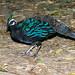 Palawan Peacock-Pheasant