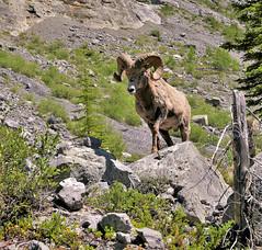 CANADIAN ROCKY BIGHORN SHEEP (Rob Patzke) Tags: bighorn ram mountain horns animal nature boulder panasonic lumix lx100 canada portrait