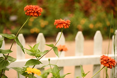 850_1643.jpg (Snapping Beauty) Tags: publicpark natural flowers nature flower abstract day zinnia orange nopeople things selectivefocus stills beautyinnature petal horizontal colors virginia naturewildlife floral bloom yellow places fence red esp