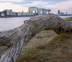Driftwood (felixmiddendorf) Tags: deutschland dom grosstmartin kodakportra400 kranhäuser köln mamiyarb67pros nikoncoolscan9000ed poll pollerwiesen rheinauhafen 120film