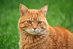 Zarpazos (En memoria de Zarpazos, mi valiente y mimoso tigre) Tags: gatto micio gato cat zarpazos orangetabby felino gattuso pelirrojo dep gattoarancione ginger gatofeliz gatolibre rosso gatoatigradonaranja gatopelirrojo gattorosso