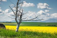 Prairie Tree sculpture (Picture-Perfect Pixels) Tags: treeincanolafield farm canola field alberta southernalberta brightyellow landscape clouds hay bale mountains nikon d80 nikond80 flower agriculture scenic