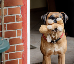 Boxer (Fred H, H. Heitmann) Tags: fujifilmxt2 tier fhh1962 boxer dog cane tangstedt outdoor hund flickr animal ©fredheitmann katze cat felis