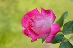 Winter rose (Anavicor) Tags: rose rosa winter invierno diciembre anavillar anavicor nikon dslr d5300 bokeh