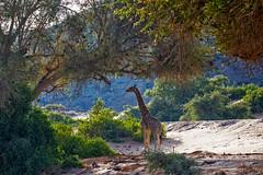 Desert Adapted Giraffe (Trouvaille Blue) Tags: africa namibia giraffe desertadapted trouvailleblue kaokoveld kunene