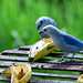Blue-gray tanagers.jpg