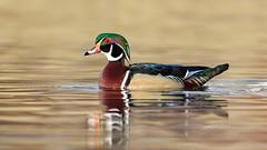Wood Duck (Gary R Rogers) Tags: bird woodduck drake water wildlife pond dawsoncreek nature