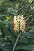 [Hedychium gardnerianum]-[PRT-The Azores] (Mike Creighton) Tags: hedychiumgardnerianum gingerlily kahiliginger kahilagarlandlily portugal açores zingiberaceaegingers