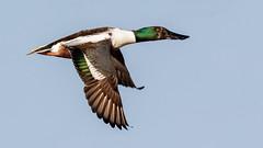 Northern Shoveler (Gary R Rogers) Tags: bird sky duck green blue flight orange northernshoveler