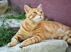 Zarpazos, 4 años en nuestros corazones (En memoria de Zarpazos, mi valiente y mimoso tigre) Tags: zarpazos gattuso gato pelirrojo dep cat gattoarancione ginger orangetabby gatofeliz gatolibre gatto rosso gatoatigradonaranja gatopelirrojo gattorosso