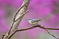 female on purple (G_Anderson) Tags: missouri backyard birds birding spring nuthatch