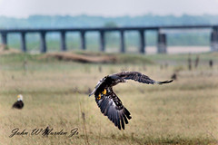 Juvenile Bald Eagle (Eagle soaring) Tags: baldeagles eagle bonnet carre spillway