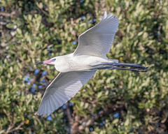 White Morph Reddish Egret Inflight (dbadair) Tags: outdoor nature wildlife 7dm2 ef100400mm canon florida bird white reddish flight bif mangroves fl