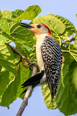 Red-bellied Woodpecker in the Mulberry Bush (dbadair) Tags: outdoor nature wildlife 7dm2 ef100400mm canon florida bird
