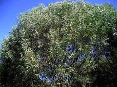 Acacia disparrima subsp. disparrima 3 (nbgact) Tags: australian national botanic gardens canberra act barry m ralley barrymralley dicotyledons
