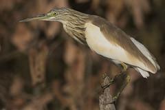 Squacco Heron (The Paranoid Birder) Tags: squaccoheron ardeolaralloides ardeidae
