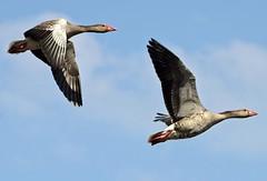 gąski gąski do domu // geese (stempel*) Tags: polska poland polen polonia gambezia pentax k30 nature przyroda animals gęsi wild geese dzikie bird ptaki para kraśnicza wola