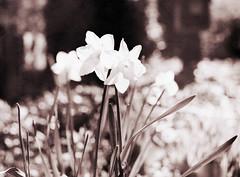 Påskeliljer (LarsHolte) Tags: pentax 645 pentax645 645n 6x45 smcpentaxfa 75mm f28 120 film 120film analog analogue foma fomapan fomapan100 fomapan100professional 100iso mediumformat blackandwhite classicblackwhite bw monochrome filmforever filmphotography caffenolc ishootfilm larsholte homeprocessing denmark danmark flowers garden
