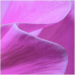 Macro Monday Pastels 2019-04-10 (5D_32A2583) (ajhaysom) Tags: cyclamen flower macromonday macromondays macro pastels canoneos5dmkiii canon100mmlmacro