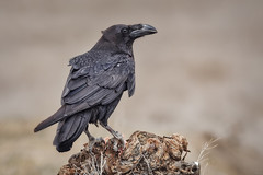 El Cuervo (Jaime A Ballestero) Tags: jaimea cuervo crow eltaray hide naturaleza ave negra wildlife nature