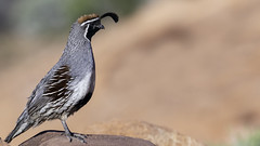 02469376422342-111-19-04-Gambel's Quail in the Mojave Desert-2 (You have failed me for the last time Jim) Tags: america gambelâsquail mojave mojavedesert nevada places quail southwest tamronsp150600mmf563divcusdg2 usa valleyoffire animal bird canon desert nature statepark