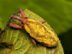 Lixus sp. (Eerika Schulz) Tags: lixus käfer beetle weevil ecuador puyo eerika schulz
